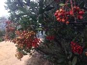 Toyon (Heteromeles arbutifolia)