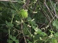 Seed pod - Wild Cucumber (Marah macrocarpa) )