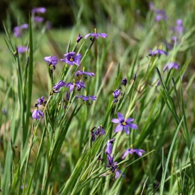 Blue-eyed Grass (Sisyrichium)