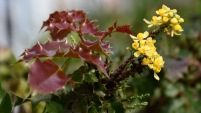 California Barberry (Berberis pinnata) - Flowers and New Leaves