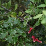 Island Snapdragon (Galvezia speciosa) and California Barberry (Berberis pinnata)