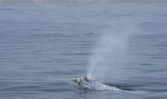 Gray Whale (Echrichtius robustus) off Newport Beach