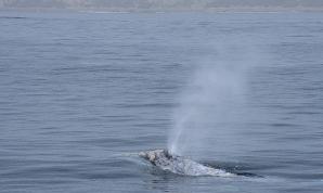 Gray Whale (Echrichtius robustus) off Newport Beach