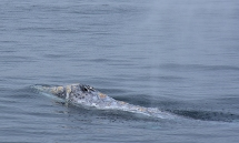 Gray Whale (Echrichtius robustus) with blowholes visible