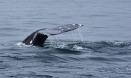 Fluke of a Gray Whale (Echrichtius robustus) off Newport Beach