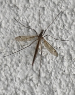 Giant Western Crane Fly (Holorusia hespera)