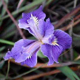 Madonna Too Iris -- a hybrid of the Douglas Iris (Iris douglasiana), a California native