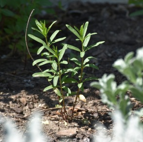 Narrow-leafed Milkweed (Asclepias fascicularis) greeting the Spring