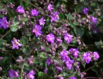 California Four O'clock (Mirabilis laevis var. crassifolia