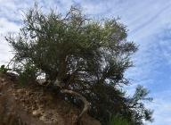 Chamise (Adenostoma fasciculatum)
