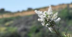 Ceanothus flowers, either big pod ceanothus (Ceanothus megacarpus) or greenbark ceanothus (C. spinosus)
