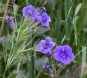 California bluebells (Phacelia minor)