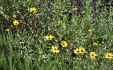 California sunflower (Encelia californica)