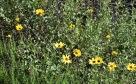 California sunflower (Encelia californica)