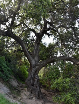 Coast Live Oak (Quercus agrifolia)