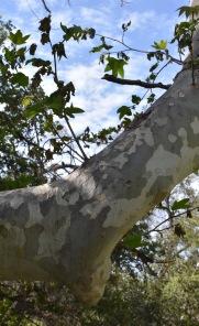 Sycamore (Platanus racemosa)
