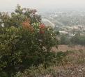 Toyon (Heteromeles arbutifolia) overlooking Los Angeles