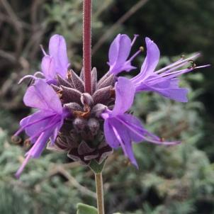 Hummingbird Sage (Salvia spathacea)