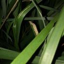 Caterpillar, possible of Armyworm Moth (Mythimna unipuncta)