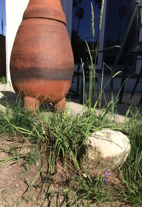 A rock protects a planting of blue-eyed grass and June Grass from getting trampled.