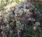 An old log provides protection for Silver Carpet California aster while adding an natural element to the garden