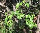 Poison Oak (Toxicodendron diversilobum)