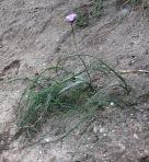 Wild Hyacinth/Blue Dicks (Dichelostemma capitatum)