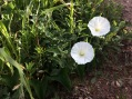 California Morning Glory (Calystegia macrostegia ssp. intermedia