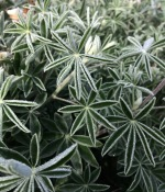Dew drops on long leaf bush lupine (Lupinus longifolius)