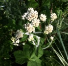 California Everlasting (Pseudognaphalium califoricum or P. beneolens)