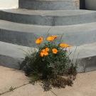 California Poppy (Eschscholzia californica) making an surprise appearance