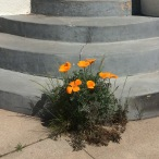 California Poppy (Eschscholzia californica) making an surprise appearance