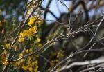 Deer weed (Acmispon glaber var. glaber