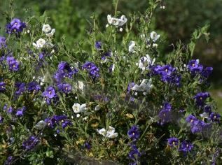 Purple nightshade (Solanum xantii)