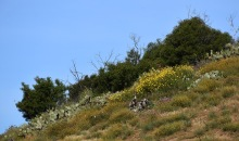 A patch of laurel sumac, prickly pear cactus, California sunflowers and deerweed growing on a hillside
