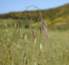 Purple Needlegrass (Stipa pulchra)