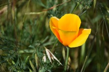 Collarless poppy (Eschscholzia lemmonii)