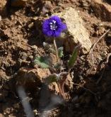 Parry phaclia (Phacelia parryi)