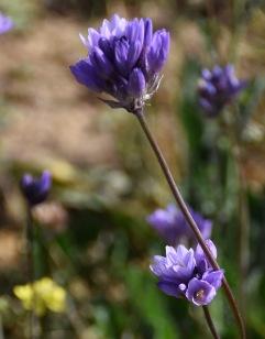 Wild Hyacinth (Dichelostemma capitatum)