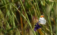 Sara's Orange Tip butterfly (Anthocharis sara) on a wild hyacinth (Dichelostemma capitatum)