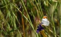 Sara's Orange Tip butterfly (Anthocharis sara) on a wild hyacinth (Dichelostemma capitatum)
