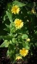 Canyon sunflower (Venegasia carpesioides)