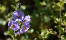 Purple nightshade (Solanum xantii)