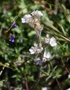 Popcorn flower (Cryptantha muricata)