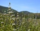 Black sage (Salvia mellifera)