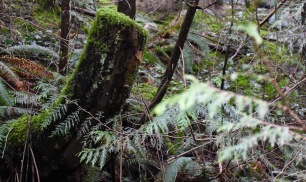 Moss reclaims a tree stump in the British Columbia rainforest