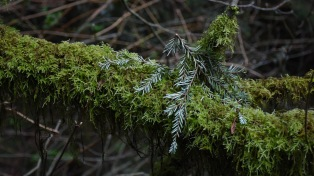 Western Hemlock twig on a moss cover branch