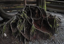 As an old tree stump decays, the roots of the sapling are exposed