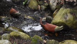 Salmon sculpture 'swimming' upstream