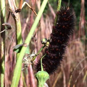 Wooly bear, a caterpillar of a tiger moth species